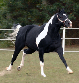 Black And White Paint Horses For Sale In Ohio