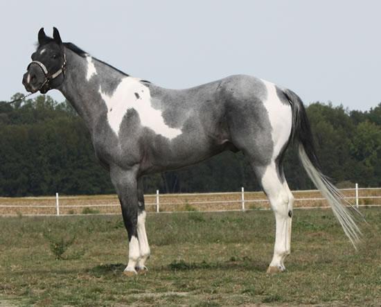 Blue Roan Paint Stallion